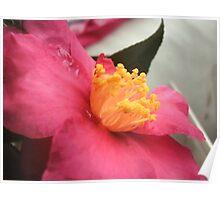 Azalia flower Poster