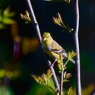 Female American Goldfinch by Yannik Hay