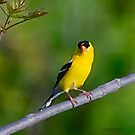 Male American Goldfinch by Yannik Hay
