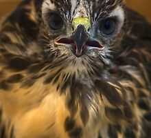 Nestling Red Tail Hawk by Chris Morrison