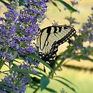 Tiger Swallowtail On Chaste Tree Number 2 by Catherine  Howell