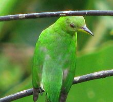 Green tanager  by hummingbirds