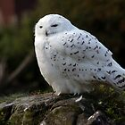 Snowy Owl by Sam Smith