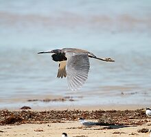 Tri-colored Heron by KatsEyePhoto