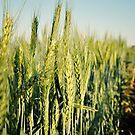 Wandina's Wheat by Ashleigh  Wall