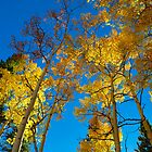 Echo Lake Aspens -Echo Lake, CO by Zeibyasis