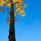 Standing Tall - Aspen at Echo Lake, CO by Zeibyasis