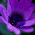 Purple Velvet by normanorly