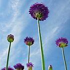 Alliums by robspics