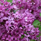 Lilac Flowers by Joy Fitzhorn