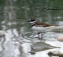 Killdeer - at waters edge - Penn Lake Park - Marathon Ontario Canada by loralea