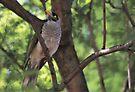 Noisy Miner Bird by yolanda
