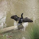Cormorant at Putah Creek by Maurine Huang