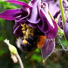 Tree Bumblebee and Red-tailed Bumblebee by Heidi Mooney-Hill