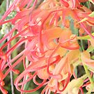 red grevillea by ashroc