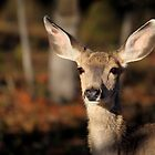 Mule Deer by Rob Lavoie