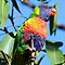 rainbow lorikeet by ralphyboy