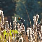 Yellow-headed Blackbird Perching Atop Dancing Cattails by c painter