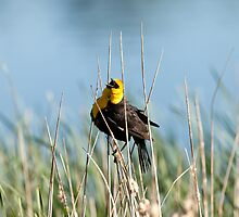 Yellow-headed Blackbird, sounding a warning by c painter