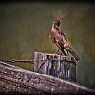 ROBIN ON A FENCE by Sandy Stewart