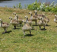 Gosling Invasion! by Mark Hughes