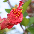 Curled Petals of A Red Hibiscus Bud by taiche