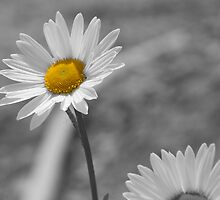 Daisy by dan williams