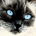 Oh These Eyes - Siamese Blue Point by lschnorr