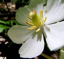 Mayapple Flower by Marcia Rubin