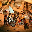 Butterfly Menagerie  by naturalnomad