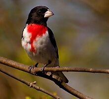 Rose-breasted Grosbeak by Jeff Weymier