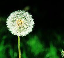 Dandelion Seeds  by Marcia Rubin