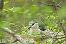 Black-crowned Night-Heron (Nycticorax nycticorax) by Mike Oxley
