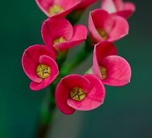 Crown of Thorns Flowers by LinseyRampello