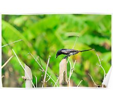 Black Drongo with it's catch Poster