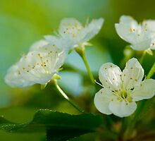 Pin Cherry Tree Blossoms by Megan Noble