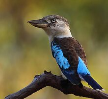 Nature's Alarm Clock / Blue-winged Kookaburra by naturalnomad
