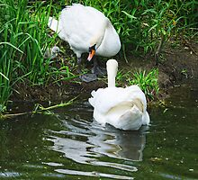 Easy now! mute swans and chick, Barrow Navigation, County Carlow, Ireland by Andrew Jones