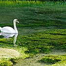 Swan on the River Lathkill by Rod Johnson