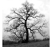 a great old tree Photographic Print
