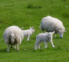 Spring Lambs by David O'Neil