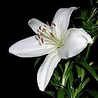 White Lily by Sarah Couzens