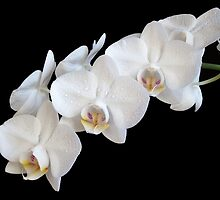 White Orchids by Sarah Couzens
