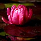 Pink Waterlily bud by loiteke