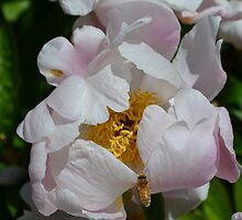 Bee flying into a white peony by Paula Betz