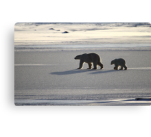 Silver Glow. Polar Bears at Sundown, Churchill, Canada  Canvas Print