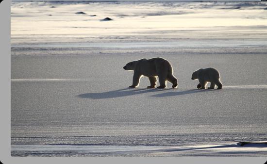 Silver Glow. Polar Bears at Sundown, Churchill, Canada  by Carole-Anne