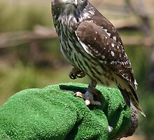 Barking Owl by triciaoshea