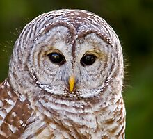 Teddy....Barred Owl by Sue Ratcliffe