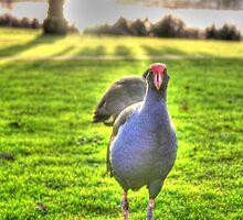 Pukeko native bird of New Zealand by francesca47